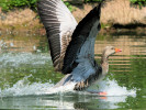 Greylag Goose (WWT Slimbridge June 2010) - pic by Nigel Key