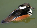 Male Hooded Merganser (Slimbridge April 2010)