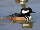 Male Hooded Merganser (Slimbridge March 2011)