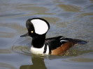 Male Hooded Merganser (Slimbridge April 2011)