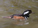 Hooded Merganser (Slimbridge May 2013)