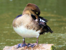 Male Hooded Merganser (Slimbridge September 2010)