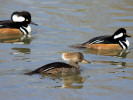 Male/Female Hooded Merganser (Slimbridge March 2011)
