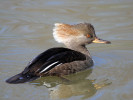 Female Hooded Merganser (Slimbridge March 2011)