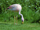 Male James's Flamingo (Slimbridge May 2012)