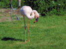Lesser Flamingo (Slimbridge May 2012)