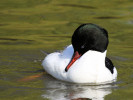 Male Common Merganser (Slimbridge April 2011)
