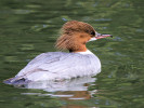 Female Common Merganser (Slimbridge June 2011)