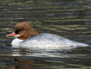 Female Common Merganser (Slimbridge March 2012)