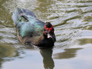 Muscovy Duck (WWT Slimbridge October 2011) - pic by Nigel Key