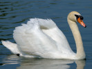 Mute Swan (Slimbridge June 2010)