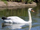 Mute Swan (Slimbridge May 2014)