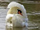 Mute Swan (Slimbridge August 2010)