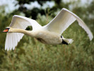 Mute Swan (Slimbridge September 2010)