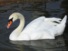 Mute Swan (Slimbridge October 2011)