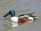 Northern Shoveler (Slimbridge April 2013)