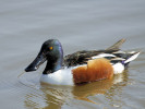 Northern Shoveler (Slimbridge March 2011)