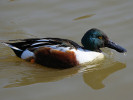 Northern Shoveler (Slimbridge March 2012)