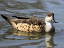 Patagonian Crested Duck (WWT Slimbridge March 2011) - pic by Nigel Key