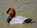 Pochard (WWT Slimbridge May 2012) - pic by Nigel Key