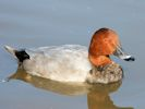 Pochard (WWT Slimbridge October 2008) - pic by Nigel Key