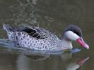 Red-Billed Teal (Slimbridge July 2012)