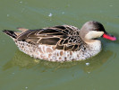 Red-Billed Teal (Slimbridge June 2009)
