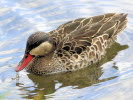 Red-Billed Teal (Slimbridge September 2010)