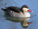 Red-Billed Teal (Slimbridge March 2012)