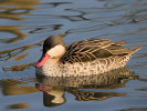 Red Billed Teal (Slimbridge March 2012)