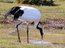 Red-Crowned Crane (WWT Slimbridge April 2013) - pic by Nigel Key
