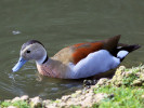 Ringed Teal (WWT Slimbridge October 2011) - pic by Nigel Key