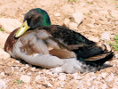 Rouen Duck (Slimbridge April 2010)