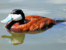 Ruddy Duck (WWT Slimbridge August 2009) - pic by Nigel Key