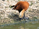 Ruddy Shelduck (Slimbridge August 2009)