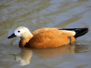Ruddy Shelduck (Slimbridge March 2011)