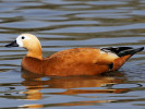 Ruddy Shelduck (Slimbridge March 2012)