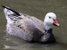 Blue-morph Snow Goose (Slimbridge August 2010)