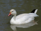Snow Goose (Slimbridge May 2012)