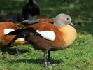 Male South African Shelduck (Slimbridge October 2011)