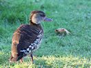 Spotted Whistling Duck (WWT Slimbridge November 2017) - pic by Nigel Key