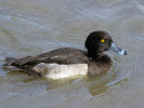 Tufted Duck (WWT Slimbridge October 2011) - pic by Nigel Key