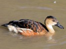 Wandering Whistling Duck (Slimbridge October 2008)