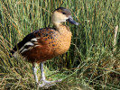 Wandering Whistling Duck (Slimbridge March 2012)