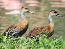 West Indian Whistling Duck (Slimbridge June 2010)