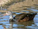 White-Winged Duck (Slimbridge May 2015)