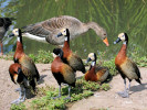 White-Faced Whistling Duck (WWT Slimbridge August 2009) - pic by Nigel Key