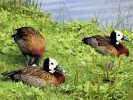 White-Faced Whistling Duck (WWT Slimbridge August 2010) - pic by Nigel Key