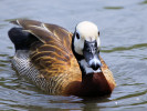 White-Faced Whistling Duck (WWT Slimbridge June 2011) - pic by Nigel Key