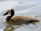 White-Faced Whistling Duck (WWT Slimbridge August 2011) - pic by Nigel Key